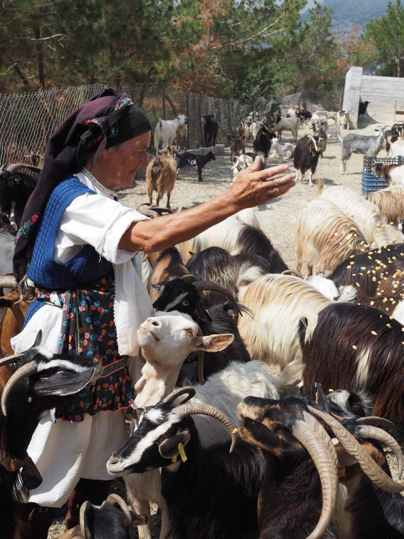 sheep milking Greece traditional Karpathos