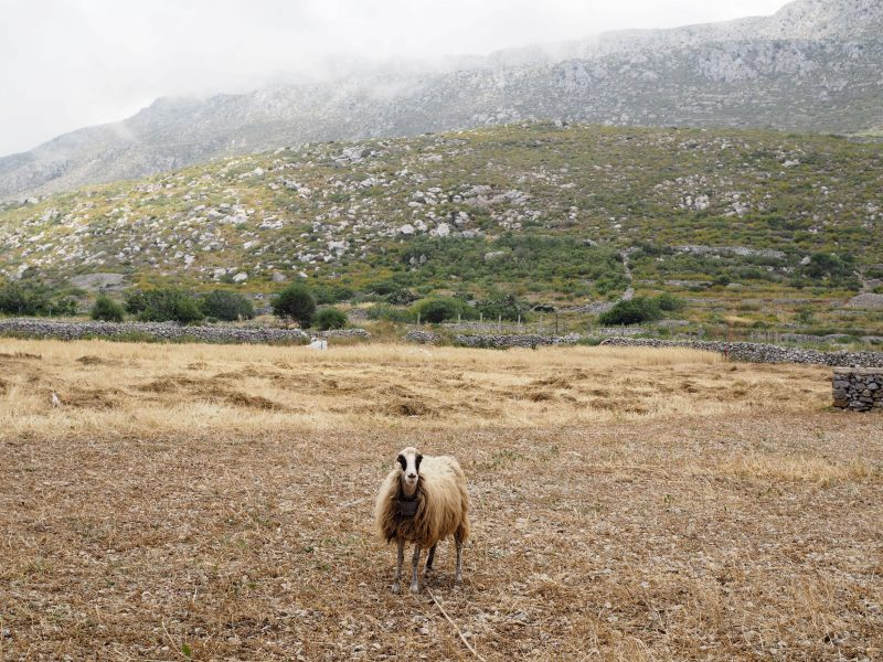 sheep rural village Avlona Karpathos =north of Karpathos