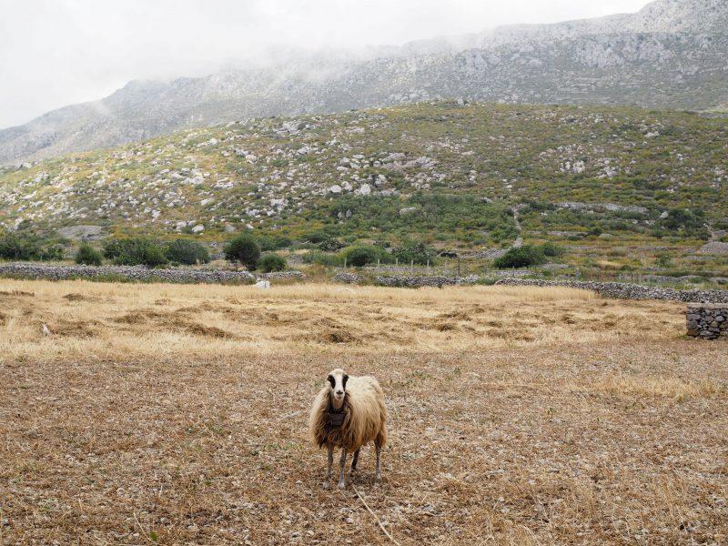 sheep rural village Avlona Karpathos
