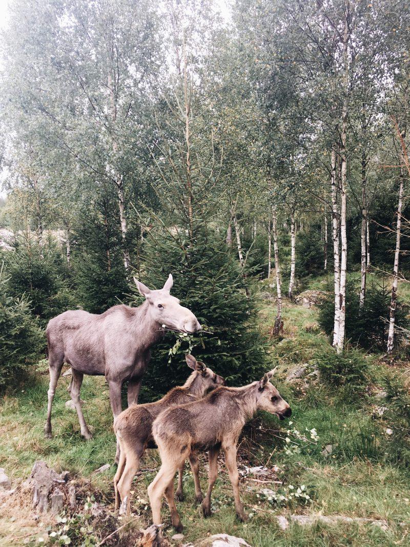 Reindeer Safara Glasriket Algpark Småland Kalmar Sweden