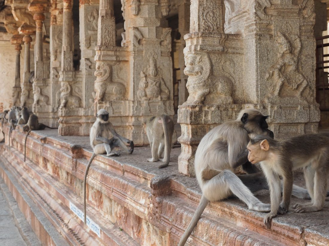 India monkey Shiva temple