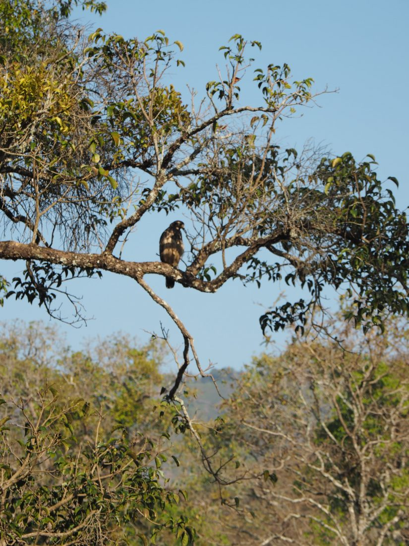 The golden chariot itinerary Karnataka Kabini eagle-min