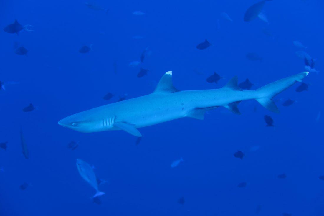 shark dive Fulidhoo maldives