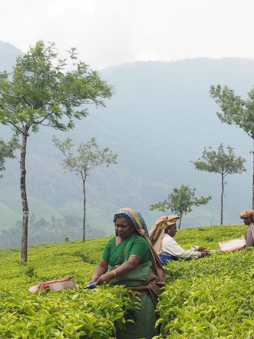 munnar tea pickers kerala
