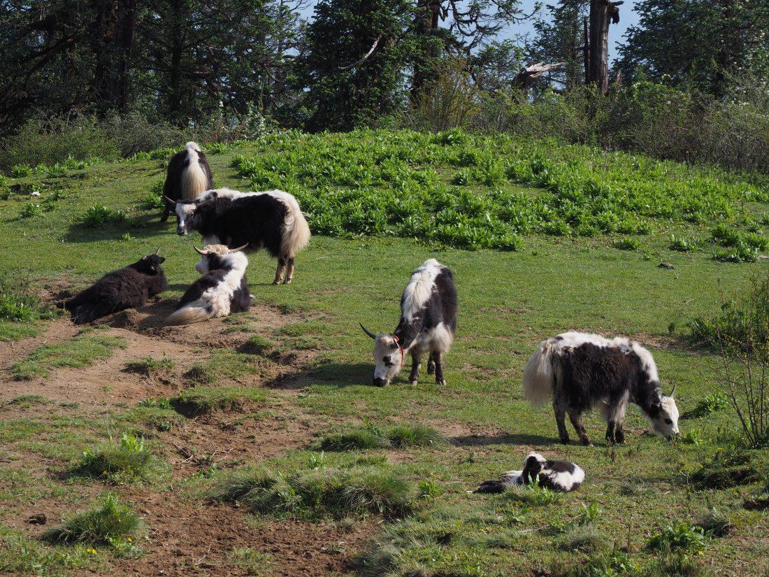 Short trek in Nepal - Mohare Donda trek yaks