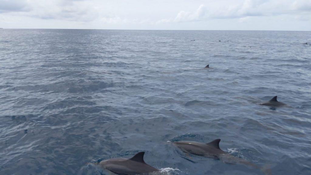 Dolphin cruise Shangri La Maldives