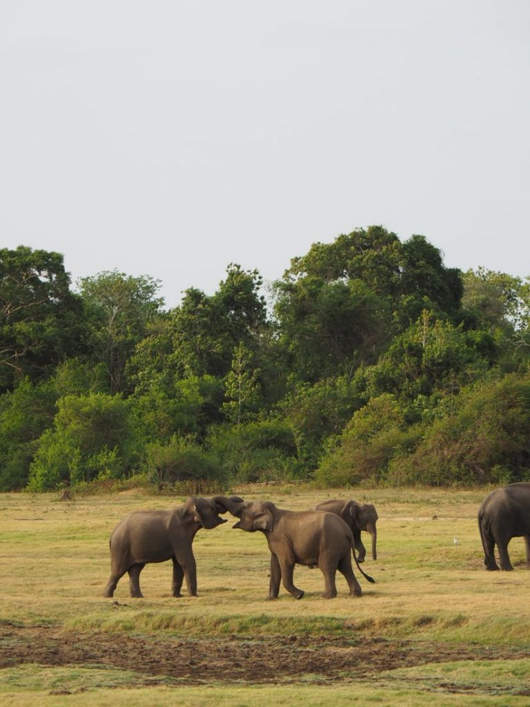 Sri Lanka itinerary - Sri Lanka travel blog Kaudulla National Park Sri Lanka itinerary - Sri Lanka travel blog