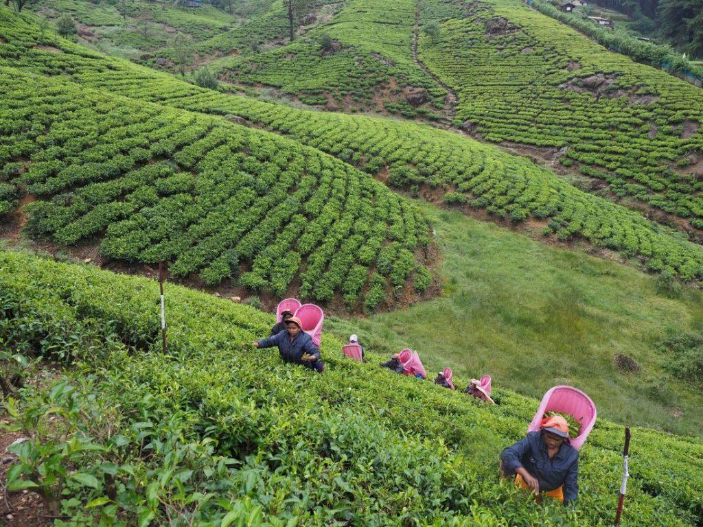 Sri Lanka itinerary - Sri Lanka travel blog Riverston Tea field