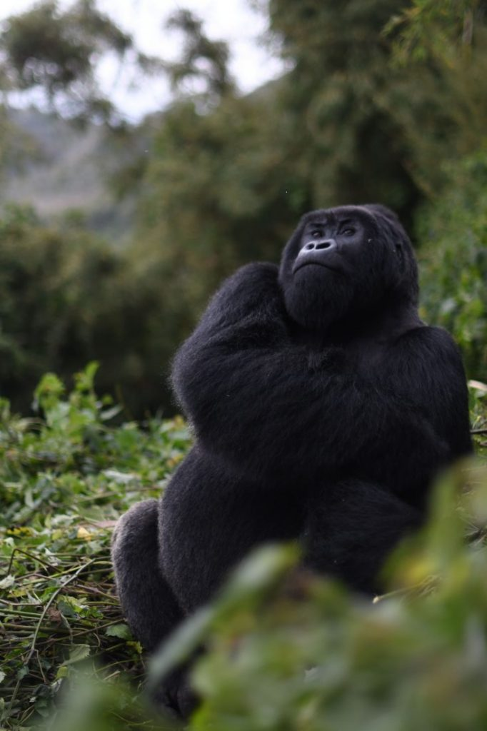 Animals of Rwanda Gorillas 1