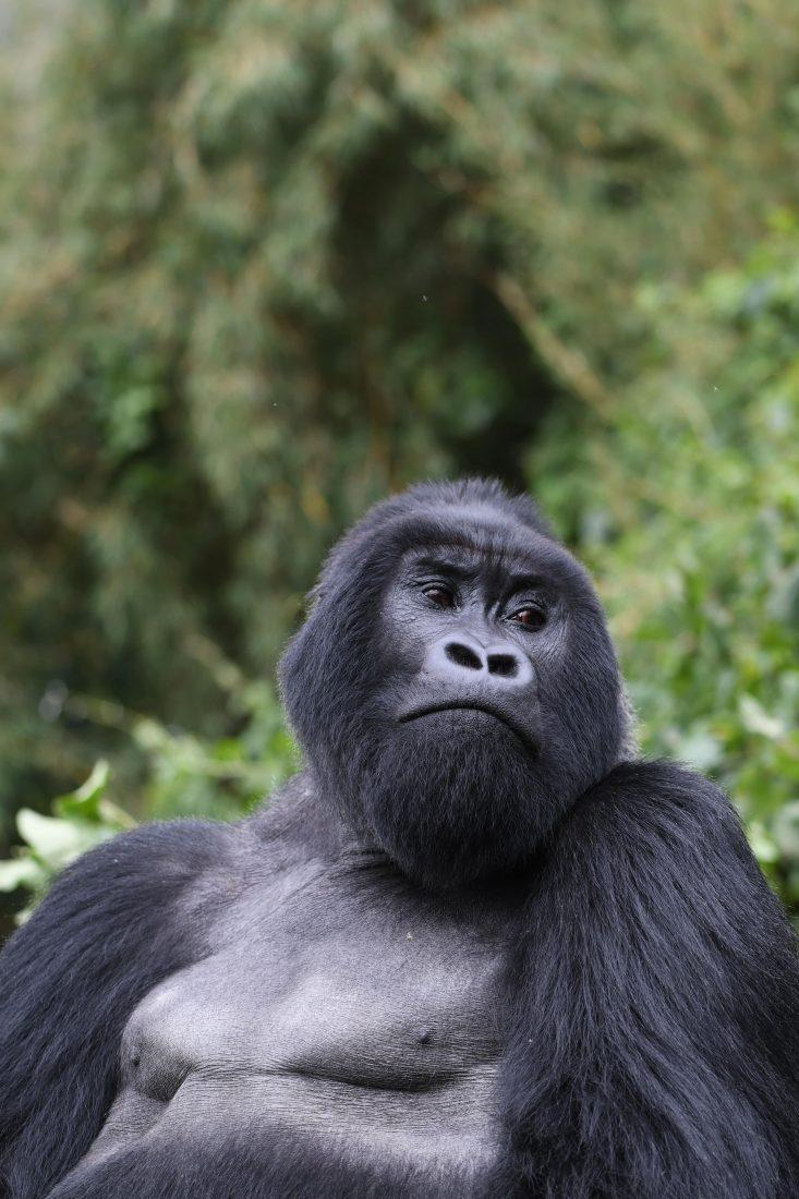 Animals of Rwanda Gorillas 2