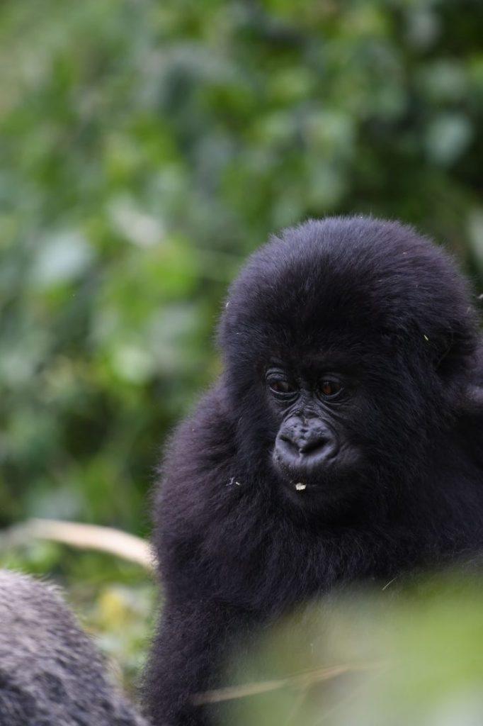 Animals of Rwanda Gorillas 3