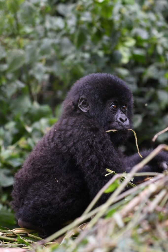 Baby Gorilla cute animals of Rwanda