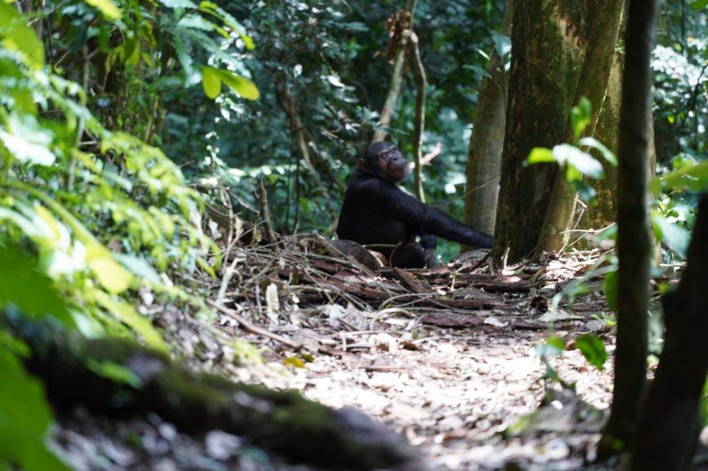 Chimpanzee animals of Rwanda
