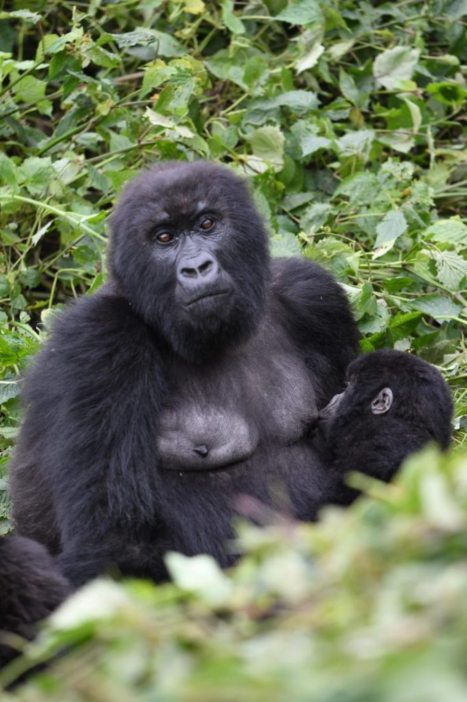 Cute animals of Rwanda gorillas 1