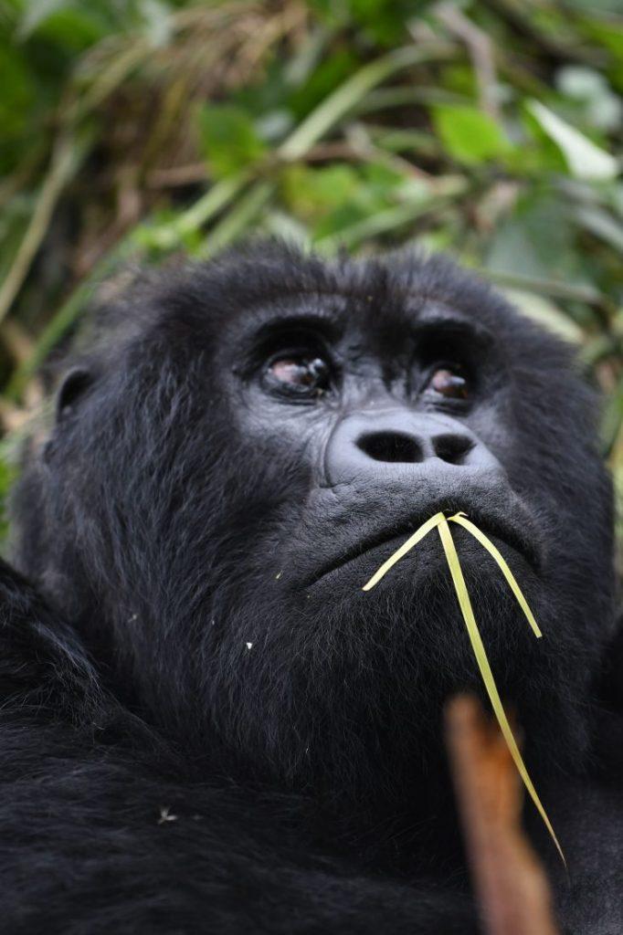 Cute animals of Rwanda gorillas 2