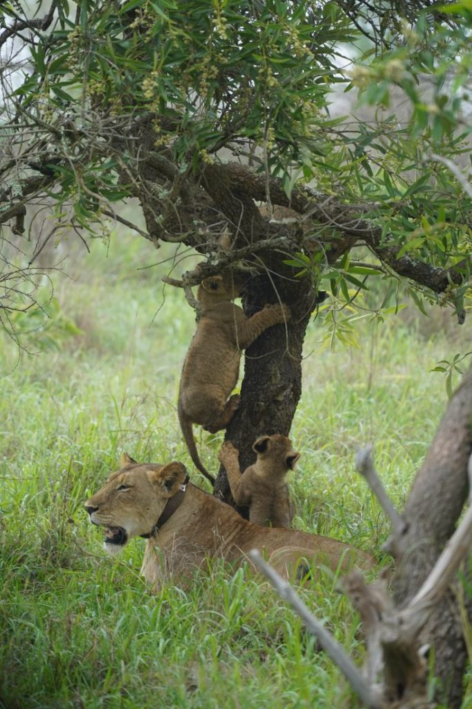 Cute animals of Rwanda lions