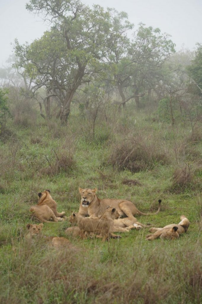 Cute lions animals of Rwanda 3