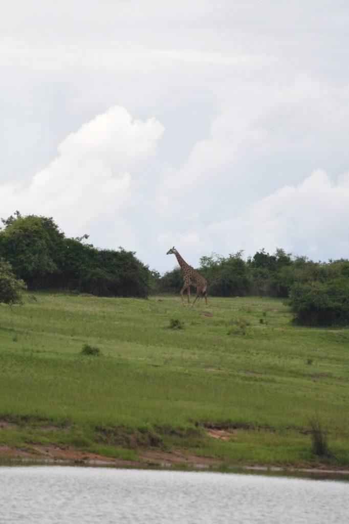Giraffe Safari Akagera - Rwanda