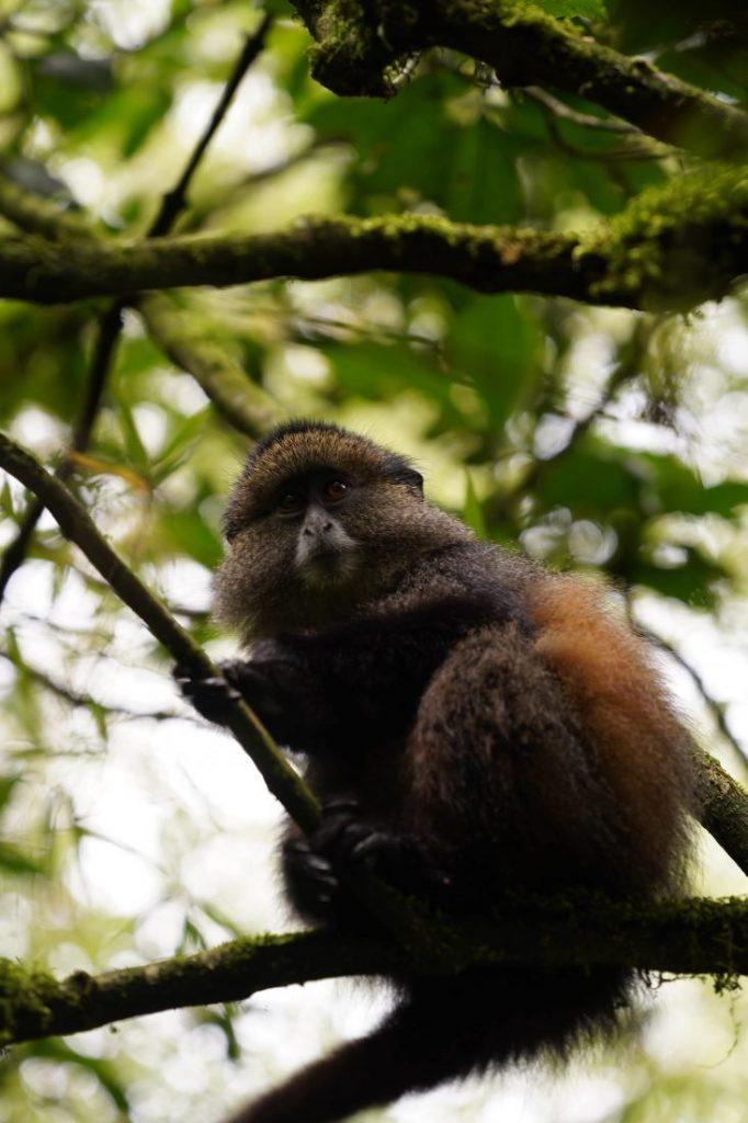Golden monkey animals of Rwanda 4