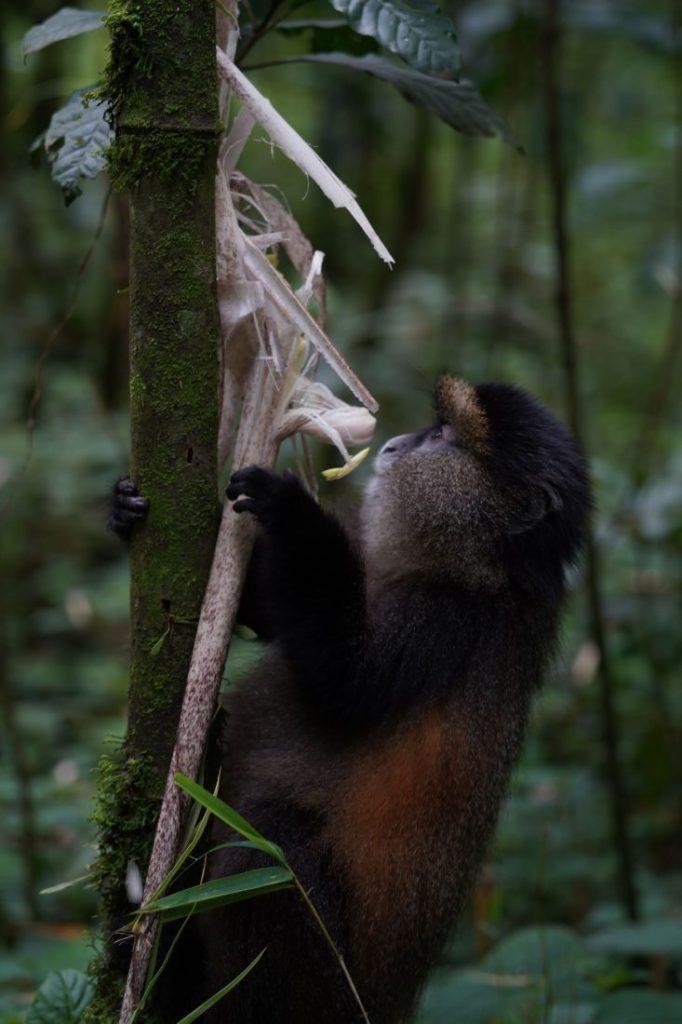 Golden monkey animals of Rwanda