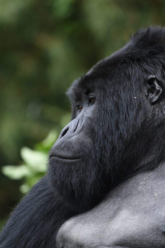 Gorilla portrait animals of Rwanda