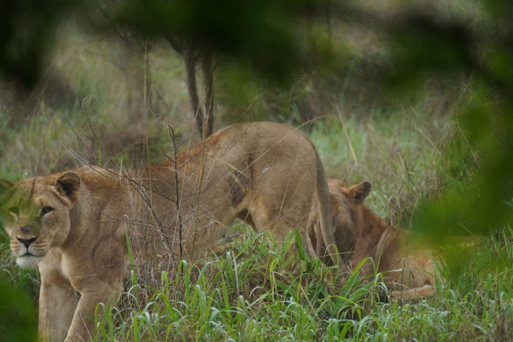 Lion Safari Akagera - Rwanda