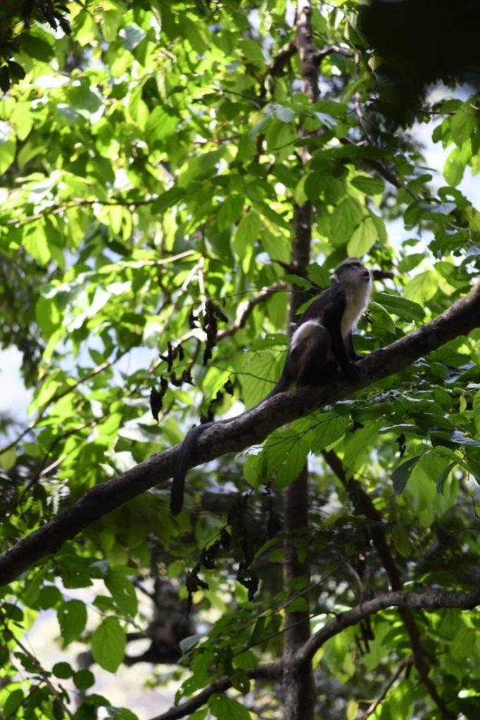 Things to do in Rwanda Colobus monkey trekking Rwanda
