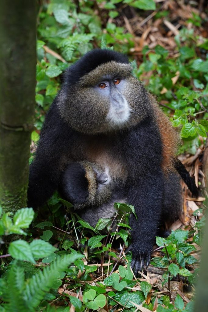 Things to do in Rwanda Golden monkey trekking