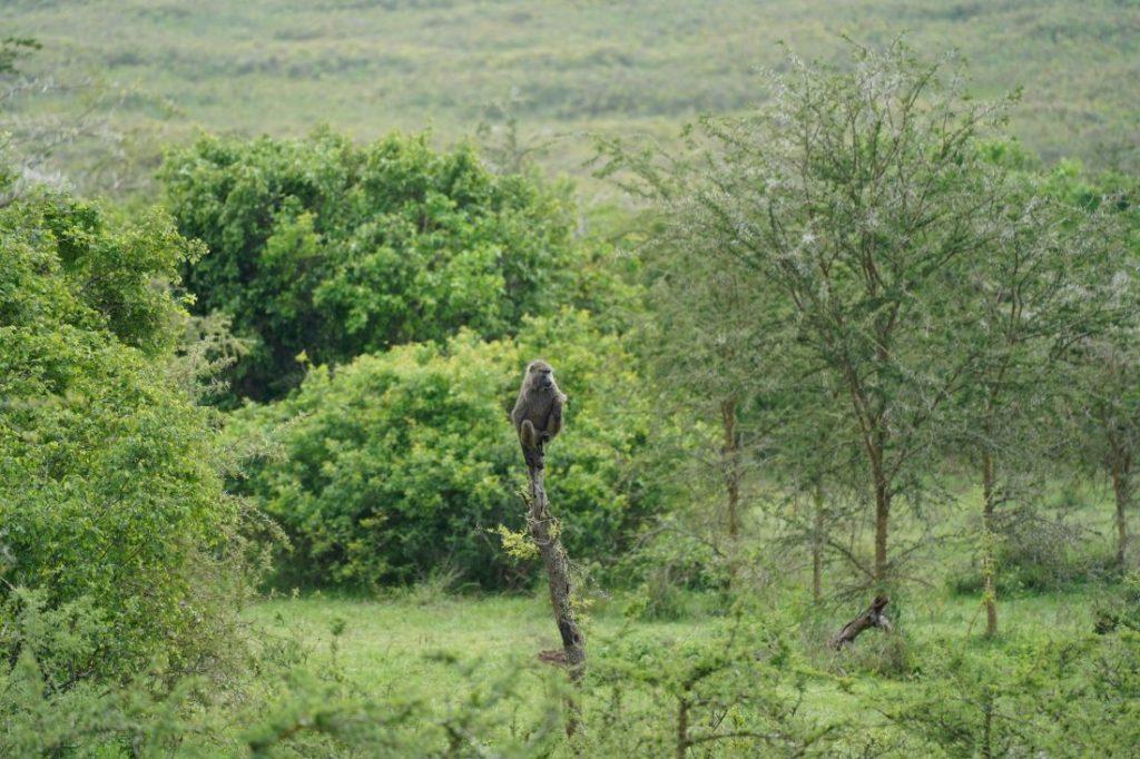 baboons Safari Akagera - Rwanda