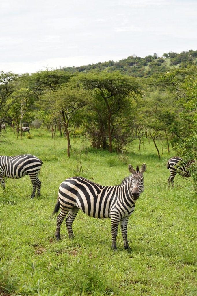 zebra safari in Akagera - Rwanda