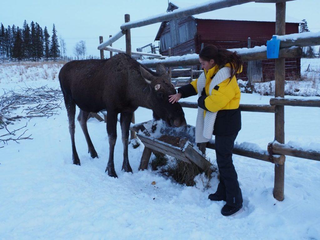Moose Garden Jamtland Sweden winter wonderland