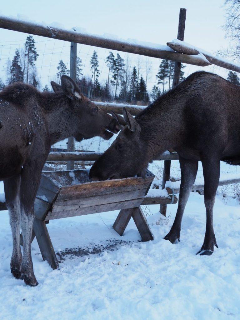 Moose garden Jamtland